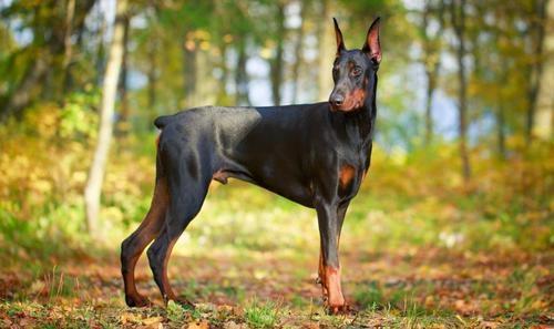 купирование хвоста у собак в туле