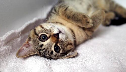стерилизация кошки в туле