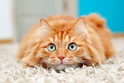 кастрация кота тула
