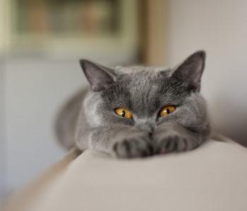 болезни британских кошек